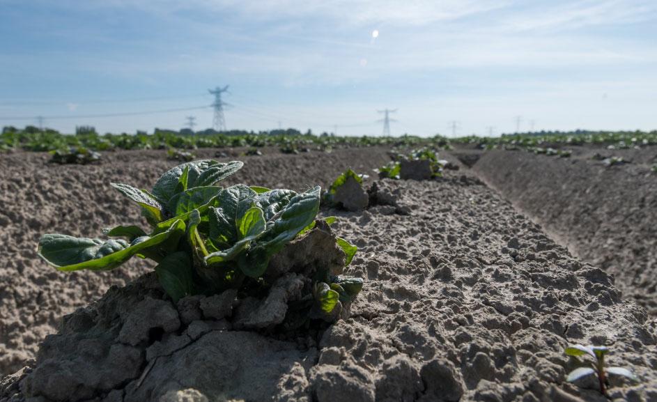 lwm-2019-aardappelplantjes-in-de-grond